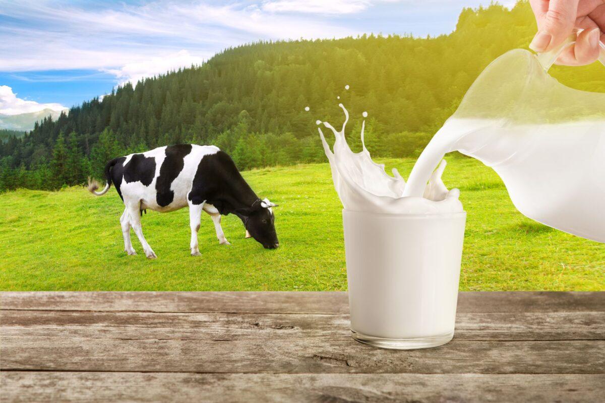 Manfaat Minum Susu Sapi untuk Kesehatan Tubuh